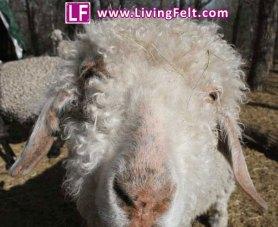 angora_goat_2